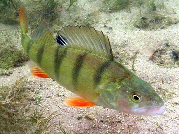 Wassergarten honcak tiere for Jungfische im teich